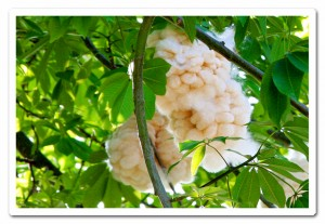 cotton-tree-2