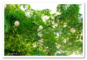 cotton-tree1